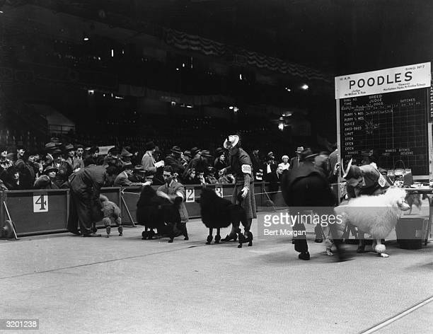 EXCLUSIVE Fulllength view of spectators in stadium seats watching poodle judging at the Westminster Dog Show in Madison Square Garden New York City
