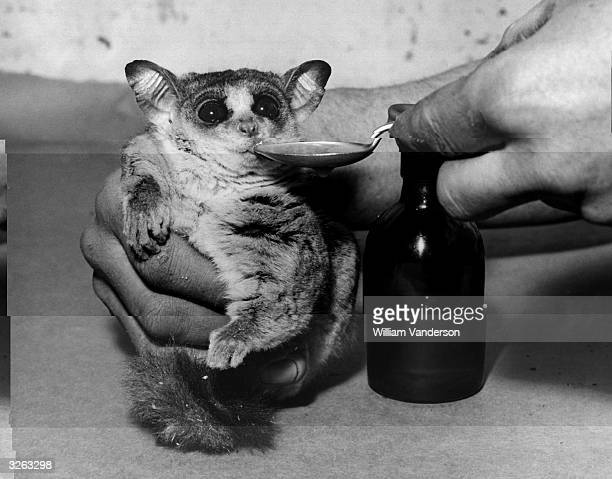 A Bushbaby getting his winter dose of cod liver oil at London Zoo