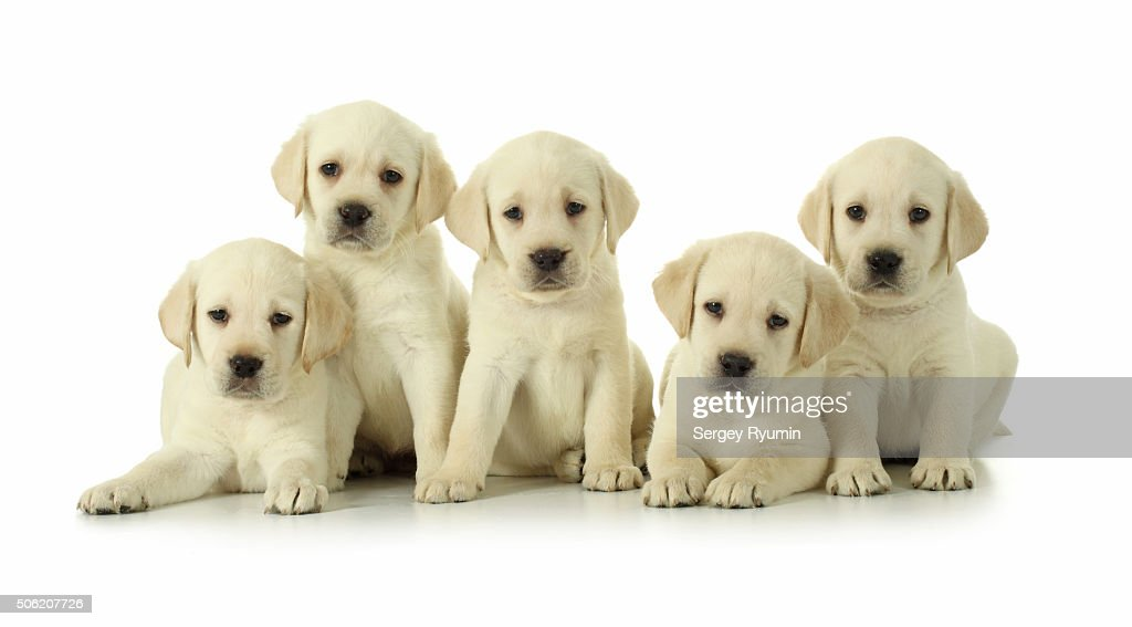15monthold labrador retriever puppies ストックフォト getty images