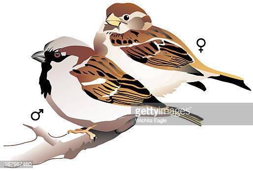 15p x 10p Mike Marlett color illustration of a male and female house sparrow