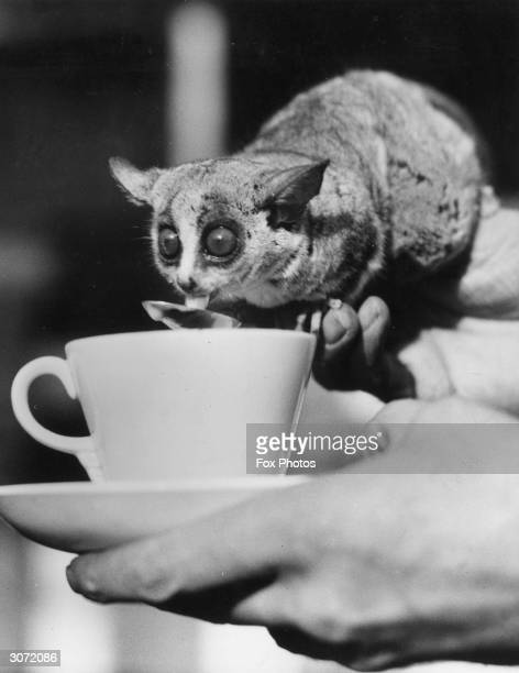 Wilfred a South African bush baby in London Zoo enjoys his morning cocoa from a teaspoon