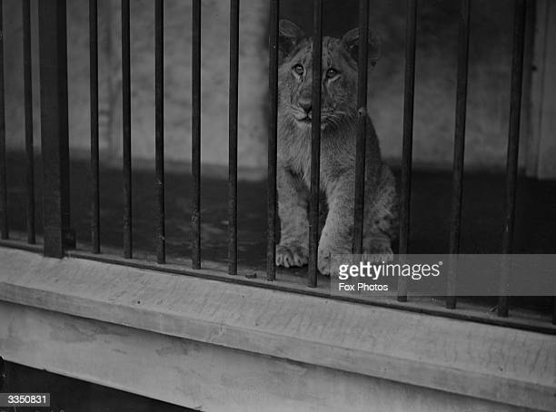 A young lion cub looking through the bars of a cage at London Zoo