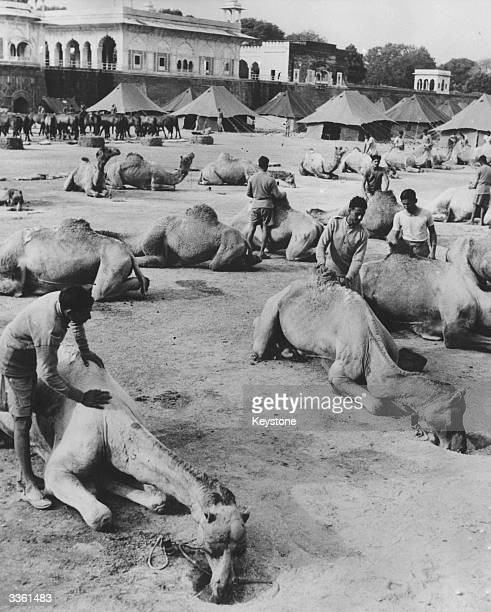 Some of the 54 camels which make up a unit of the Jaisalmer Risala the Indian Army's first regular camel corps formed since partition They are in...
