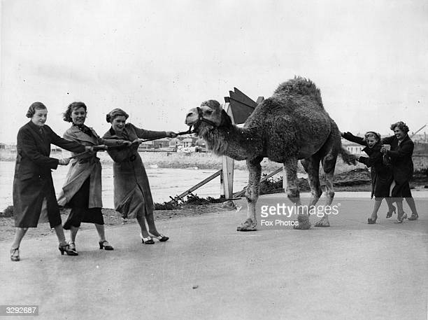 Holidaymakers at Porthcawl lent a hand when a camel from the zoo became stubborn and refused to move