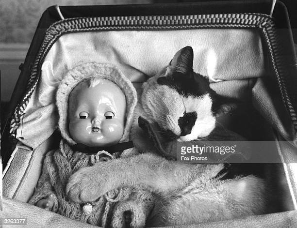 Whisky the cat was 'babysitting' for young Jaqueline Hewitt's doll but found it so comfortable in the pram that he fell asleep on the job