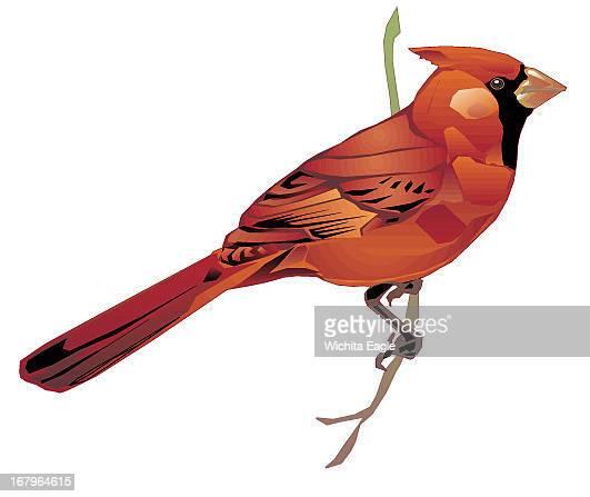 16p x 13p Randy Stephenson color illustration of male cardinal