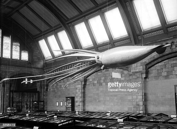 A model of a giant squid on display at the Natural History Museum South Kensington
