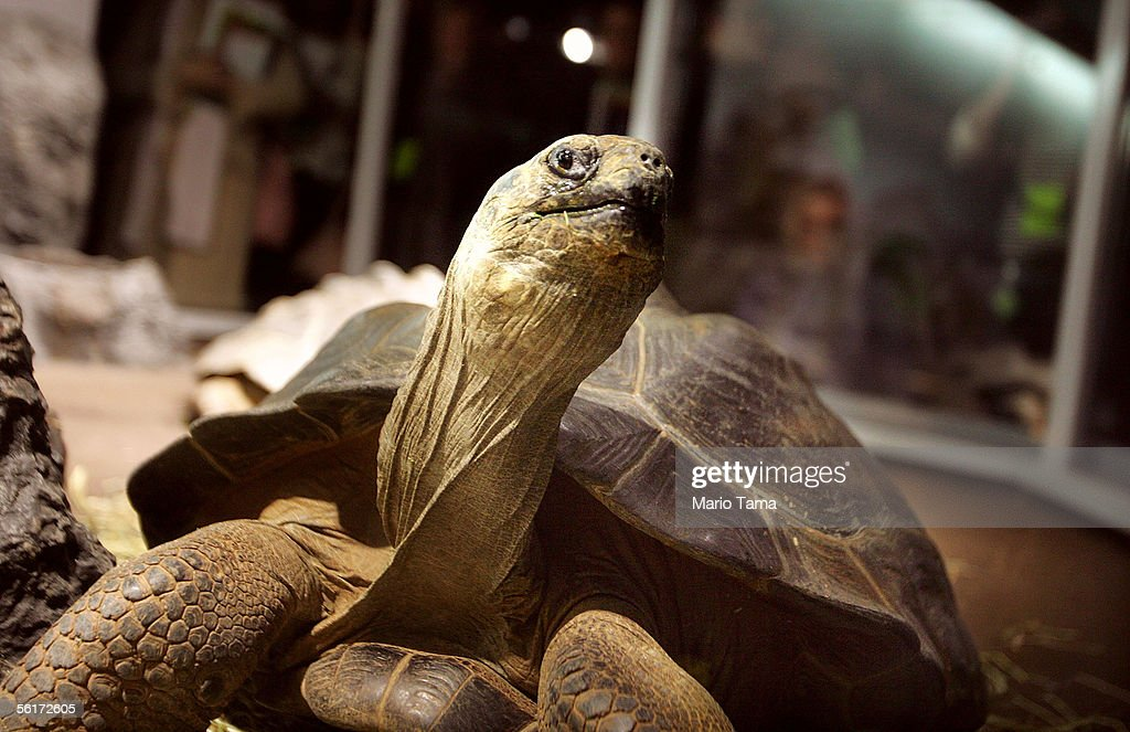 A 16-year-old male Galapagos tortoise, weighing nearly 50 pounds, is seen at a press preview of the new 'Darwin' exhibition at the American Museum of Natural History November 15, 2005 in New York City. The exhibition traces the life and discoveries of Charles Darwin and will be on view from November 19, 2005 through May 29, 2006.