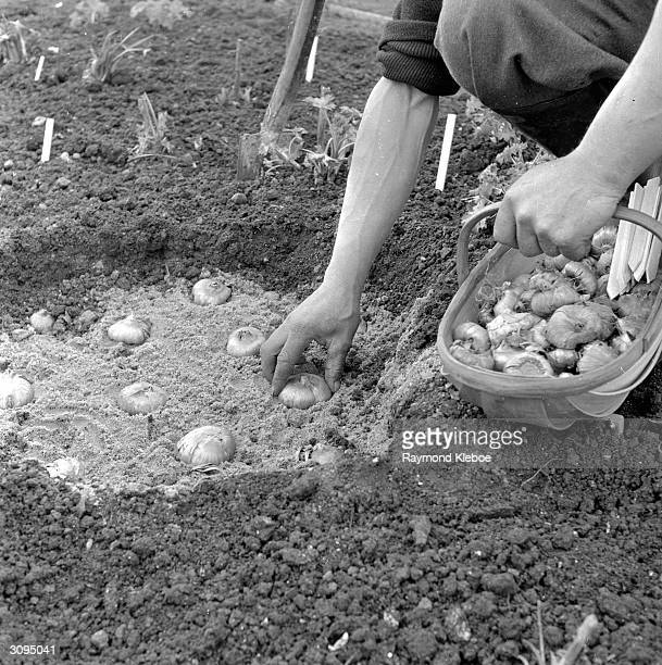 Gladioli corms being planted four inches deep on one inch of sand Original Publication Picture Post 7085 How To Increase Your Dahlia Stock pub 1954