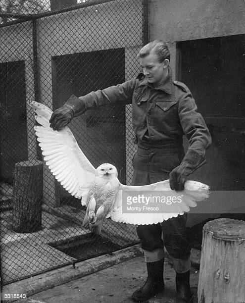 A keeper showing the wingspan of a snowy owl which was presented to London Zoo by the captain of the steamer 'Eros' The captain adopted the bird as a...