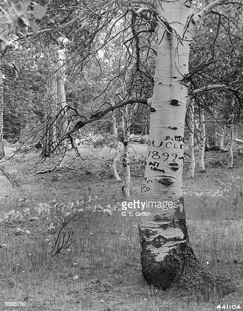 A 'picture tree' an aspen with inscriptions on its trunk carved by Irish sheep herders This one reads 'Matt Daly D U Cleand 1899' and is the oldest...