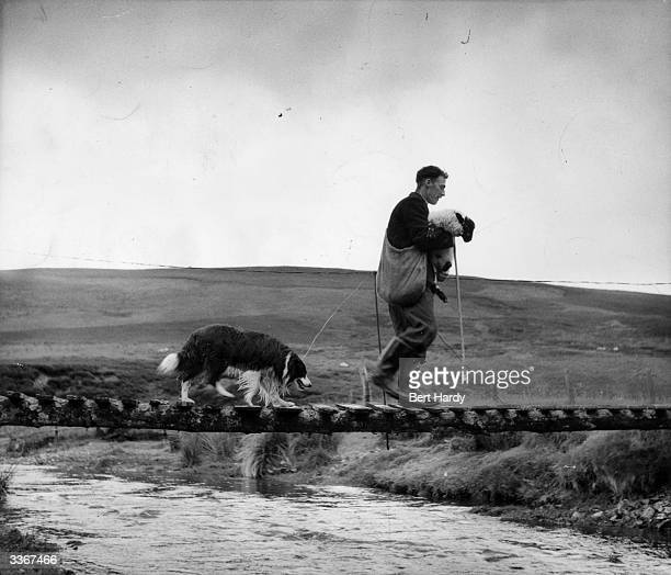 Shepherd Tom Blackwood carries a rescued sheep across one of the small burns of the River Clyde in the hills of Lanarkshire and Dumfriesshire...