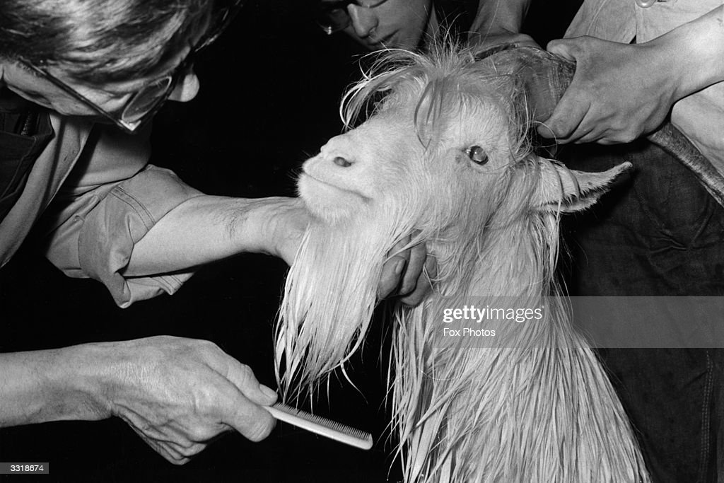 Keepers combing the newly shampooed beard of the goat Sospan II at London Zoo, before handing him over to the 4th Welch Regiment as a mascot.