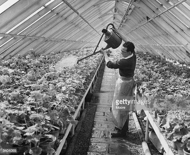 Gardener James Gregson watering 'Maxim Kovalensky' plants in a green house in Hyde Park London where they are grown to be planted out in the Royal...