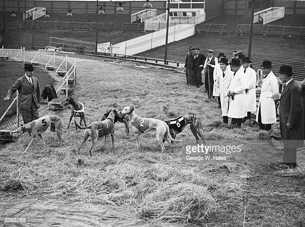 Greyhounds are introduced to the race track at West Ham Stadium which has been covered with hay to combat the effect of the weather