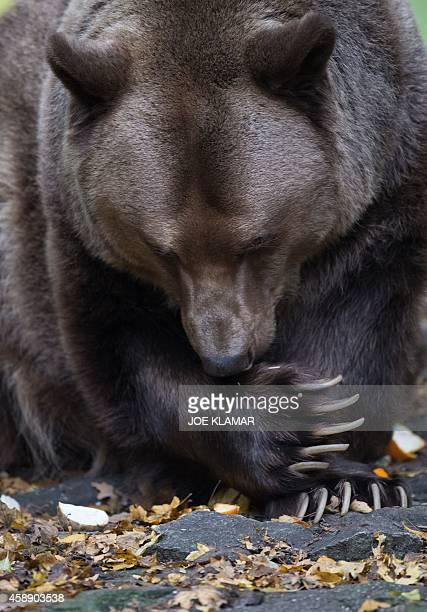 17yearold male brown bear Felix licks his paw in his enclosure at Bratislava's Zoo on November 13 2014 AFP PHOTO/JOE KLAMAR
