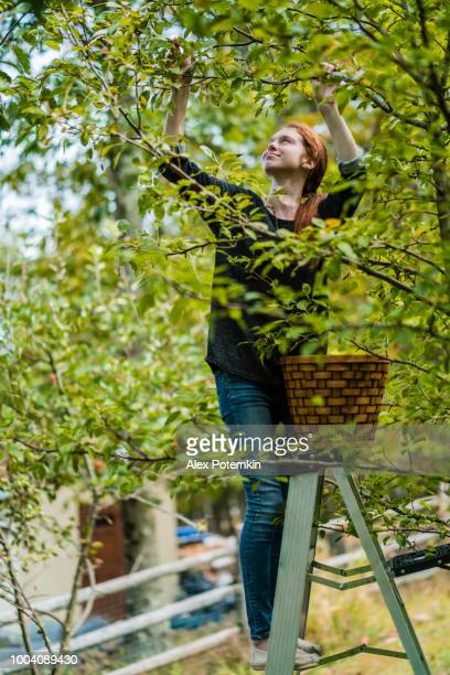 17-years-old teenager girl picking organic pears from the tree in the orchard - 16 17 years stock pictures, royalty-free photos & images