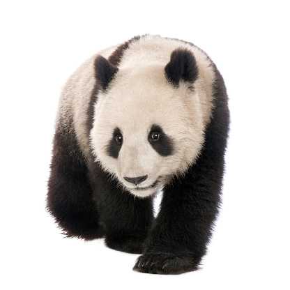 18-month-old giant panda crawling over a white background 118076126