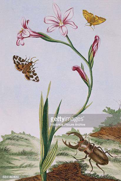 18th Century French Print of Flesh-coloured Ixia and Butterfly