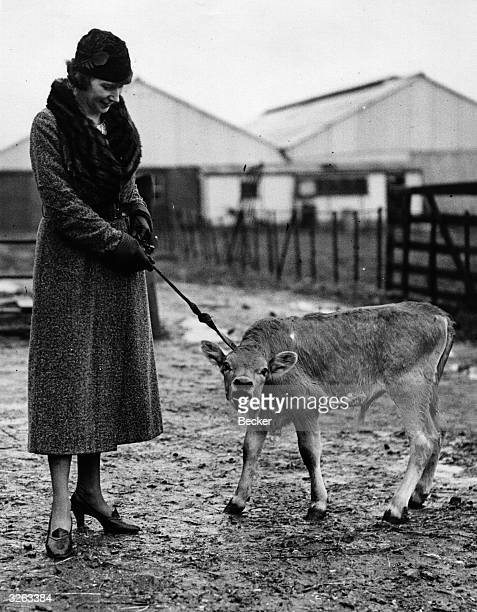 Mrs Winnifred Shorrocks of St Albans with a bull calf which she won as a booby prize at a local whist drive Part of the deal was that she walked it...