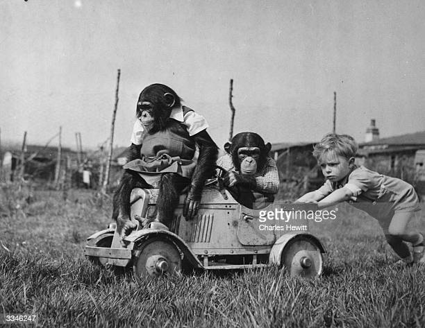 Carl Detroy pushing two of his family's pet chimpanzees in his toy motor car at their home in Laindon, Essex. Original Publication: Picture Post -...