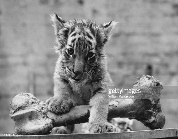 Three month old tiger cub abandoned by her mother at birth tackles a bone at the London zoo.