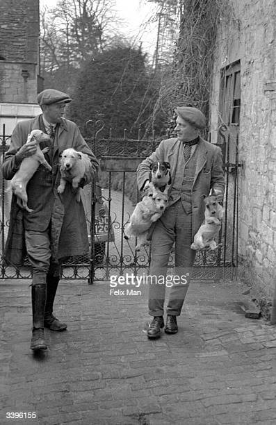 Jack Russell dogs used in the digging for badgers in the English countryside Original Publication Picture Post 107 Badger Digging pub 1939
