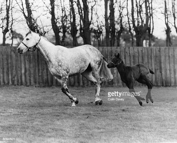 The racehorse 'Strip the Willow' and her unnamed colt at Sandringham, Norfolk. The colt will be presented to Queen Elizabeth II on her return from...