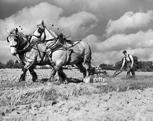 Mr R Fagg of Great Tong Farm Headcorn competing with his team of greys in the Kent Horse Ploughing Competition at Great Swifts in Cranbrook