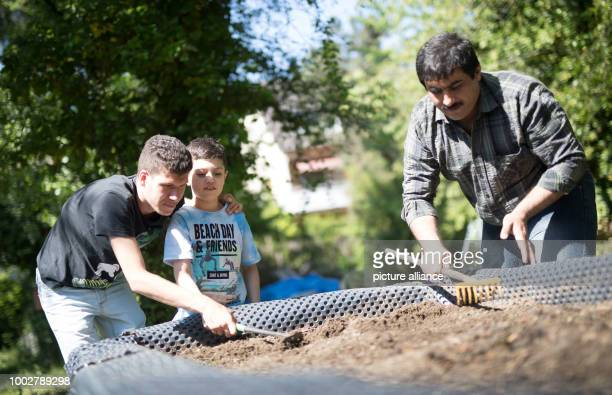 18yearold Ibrahim Ahmed 10yearold Hassan Sabagh and 35yearold Mansoor Arifai from Syria work on a raised bed in a garden plot in Geisenheim Germany...