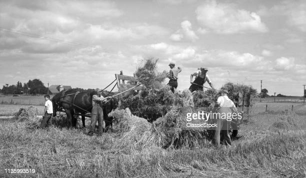 1900s 1910s FARMERS MEN AND BOYS LOADING HAY ON HORSE DRAWN HAY WAGON USING PITCH FORKS