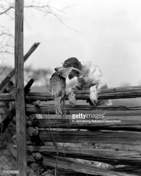 1920s ENGLISH SETTER DOG CLIMBING OVER WOODEN FENCE CARRYING DEAD BIRD PHEASANT IN MOUTH