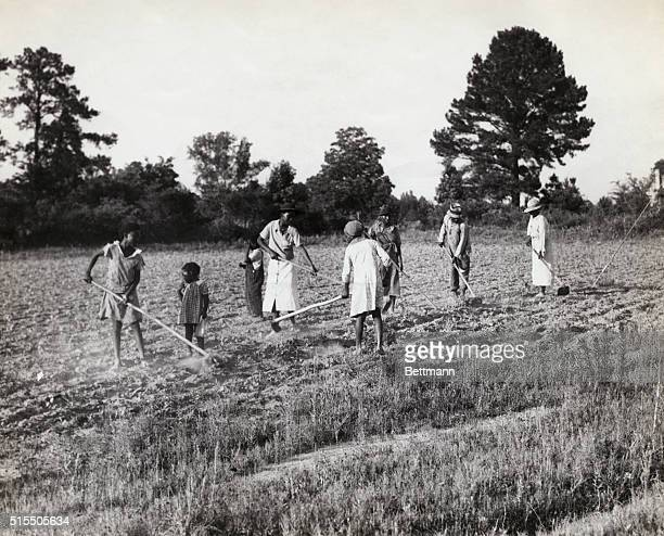 View of African Americans hoeing cotton in Alabama. Undated photograph.