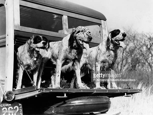 1930s 1939 ENGLISH SETTER HUNTING DOGS ON TAILGATE OF WOOD BODY STATION WAGON AUTOMOBILE