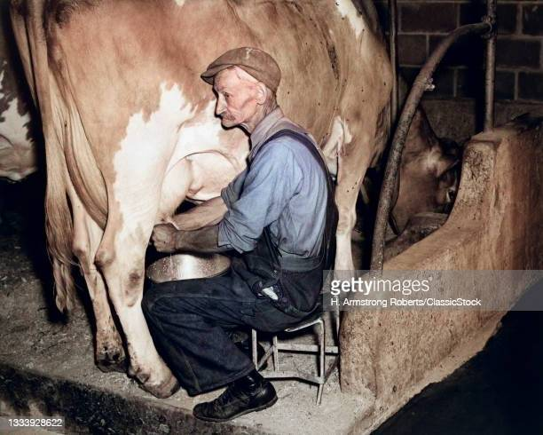 1930s 1940s Elderly Farmer In Overalls Milking Guernsey Cow .