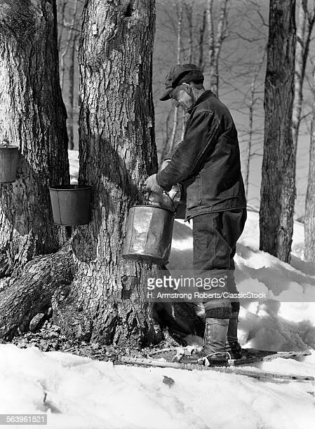 1930s 1940s MAN TAPPING MAPLE SUGAR TREES IN MAINE
