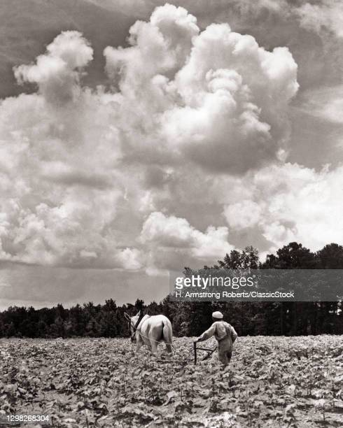 1930s African-American Man Working With Horse Drawn Cultivator In Cotton Field Near Greenville Alabama USA.