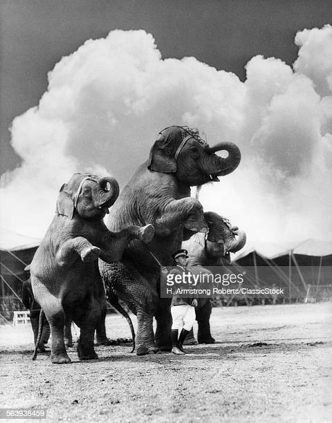 1930s CIRCUS TRAINER IN FRONT OF 3 ELEPHANTS Elephas maximus indicus STANDING ON HIND LEGS