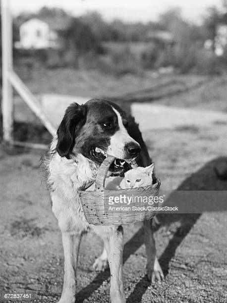 1930s DOG HOLDING CAT IN...