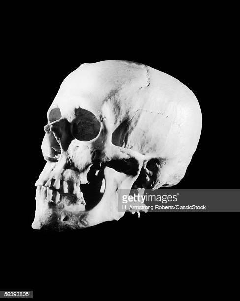 1930s PROFILE OF HUMAN SKULL WHITE BONE ON BLACK BACKGROUND