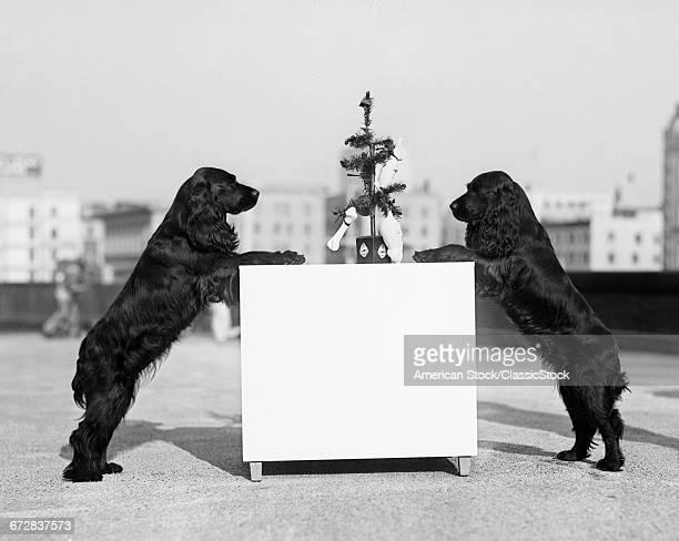 1930s TWO BLACK COCKER...