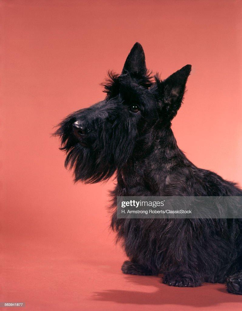 1950s BLACK SCOTTISH... : Stock Photo