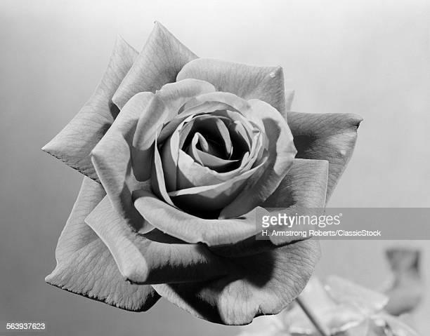 1950s CLOSE-UP OF ROSE...
