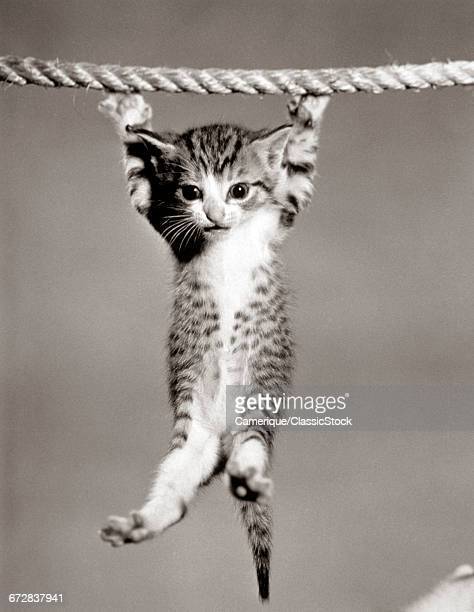 1950s LITTLE KITTEN HANGING FROM ROPE LOOKING AT CAMERA