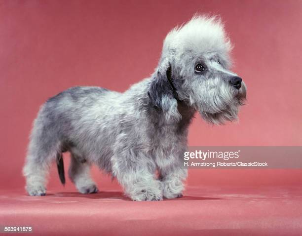 1950s PROFILE COMICAL DANDIE DINMONT TERRIER