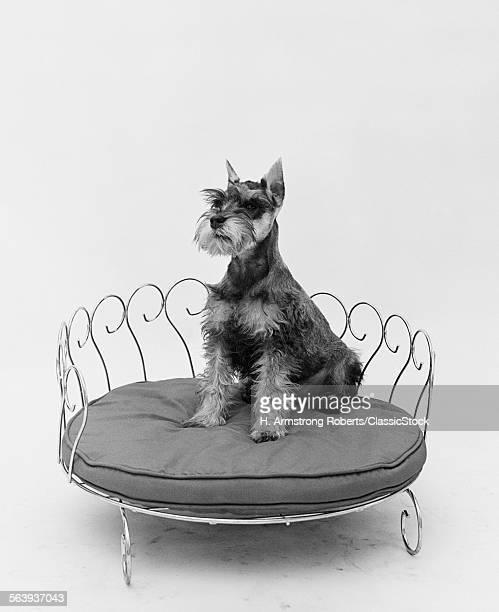 1950s SCHNAUZER DOG...