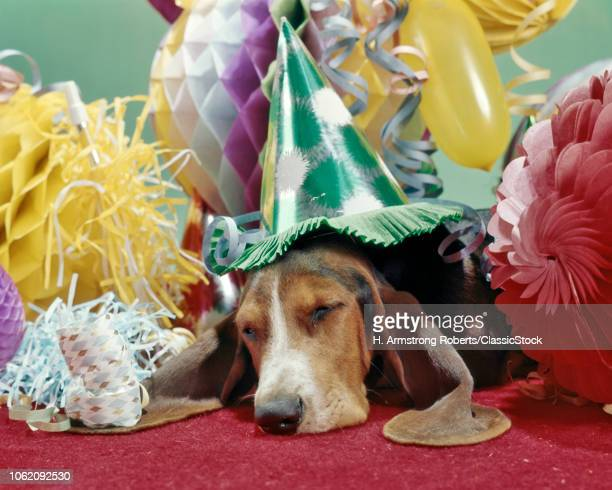 1960s 1970s BASSET HOUND WITH SAD EYES WEARING PARTY HAT SLEEPING UNDER PILE OF PARTY DECORATIONS