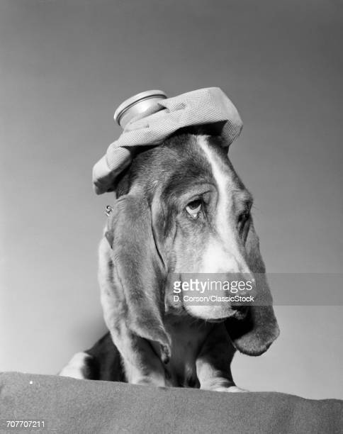1960s BASSET HOUND WITH ICE BAG PACK ON TOP OF HIS HEAD SICK HANG OVER HEADACHE