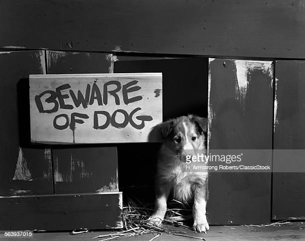 1960s COLLIE DOG PUPPY...