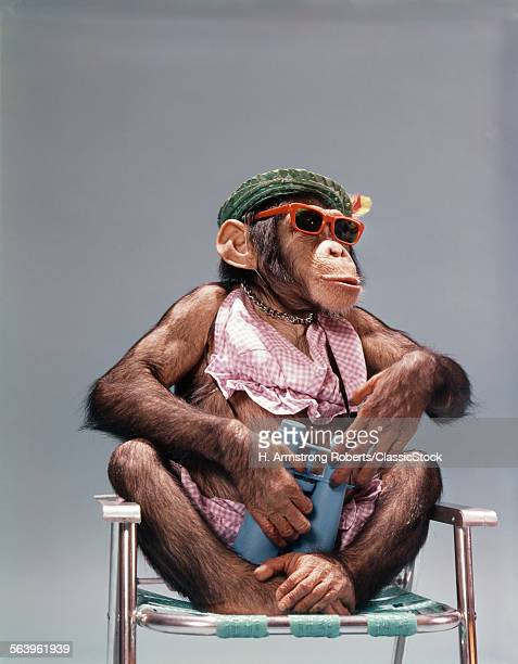 1960s FEMALE CHIMPANZEE WEARING SUMMER CLOTHING AND SUNGLASSES SITTING IN LAWN CHAIR HOLDING BINOCULARS